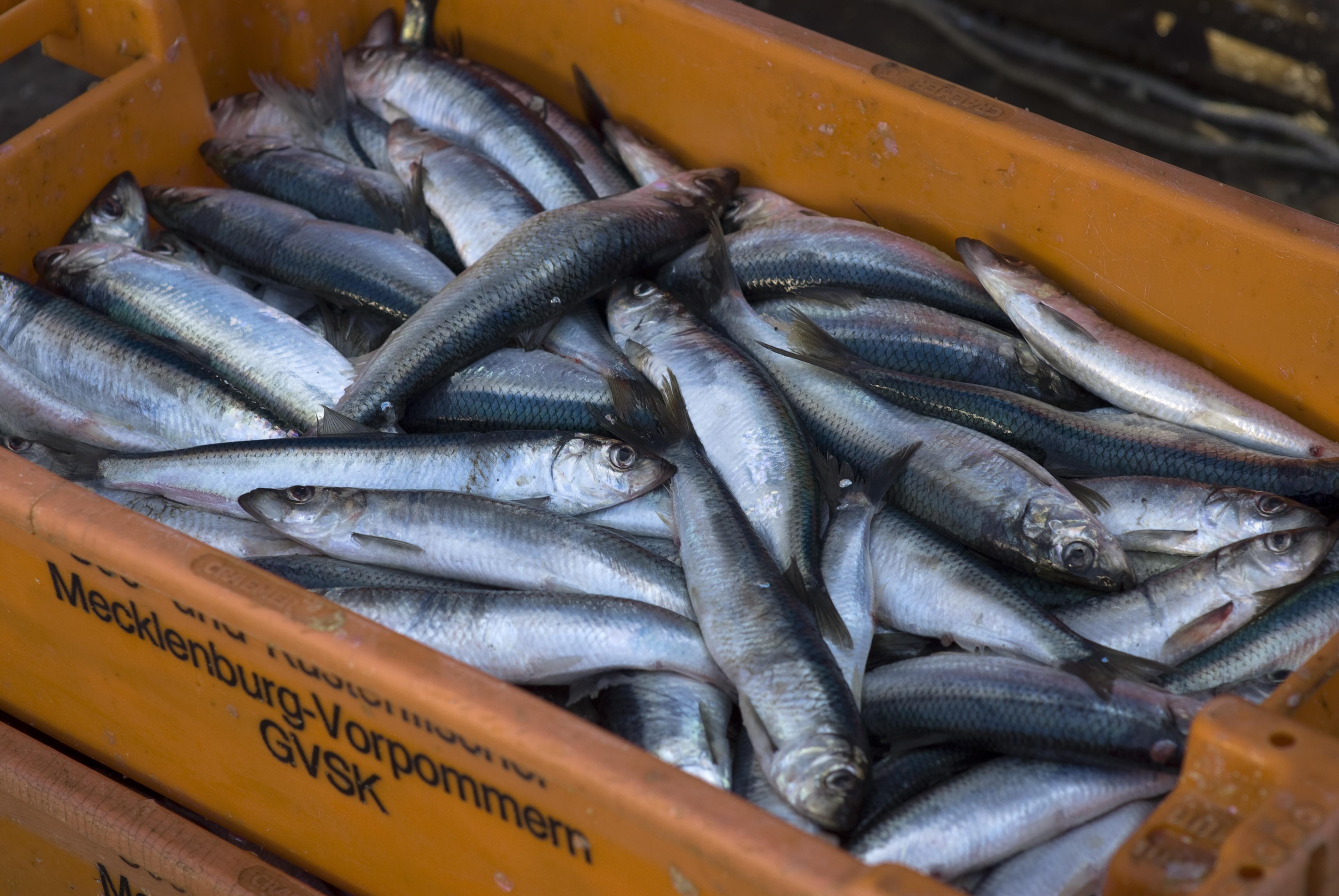 Greenpeace fordert von der EU strengere Fangquoten gegen die Überfischung der Ostsee.